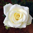 Rose by AravindTeki