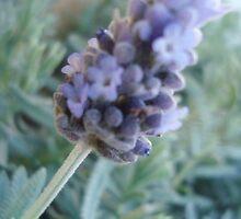 Lavender by Brigette-Renee Basarab