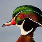 Colours of a Wood Duck by Jim Cumming