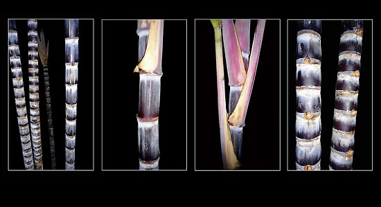 Black Sugar Cane by Magee