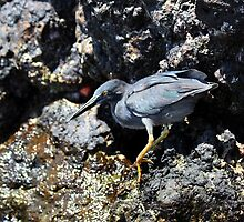 Galapagos Lava Heron by Catherine Sherman