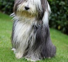 Quiet Bearded Collie