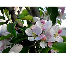 Apple Blossoms in May Photographic Print