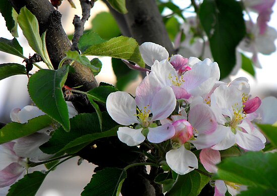 Apple Blossoms in May by Jan  Tribe