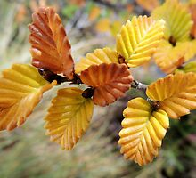 Fagus, Dove Lake Circuit, Cradle Mountain, Tasmania, Australia, April 2015. by kaysharp