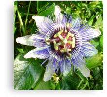 Passiflora Against Green Foliage In A Garden Canvas Print