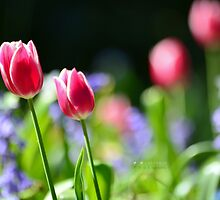 """"""" In Tulip Light """" by Richard Couchman"""