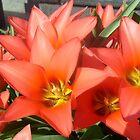 Tulips in april by Ana Belaj