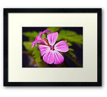 Herb Robert (Geranium robertianum) Framed Print