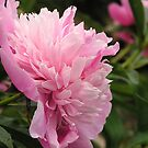 Another view of the Peony by Jamaboop