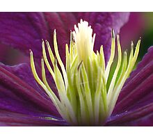 Clematis © Photographic Print
