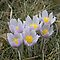 More Prairie Crocus by Vickie Emms
