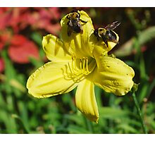 Bumbling Bumble Bees Photographic Print