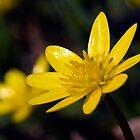 Lesser Celandine (Ranunculus ficaria) by Steve Chilton