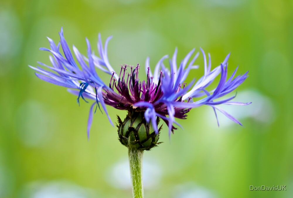 A Corker of a Cornflower by DonDavisUK