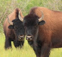 Bison attention by zumi