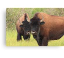 Bison attention Canvas Print