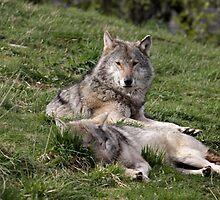 Timber Wolves at Rest by Stormbringer