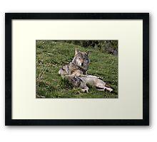 Timber Wolves at Rest Framed Print