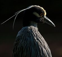 Yellow crowned night heron by George Cathcart