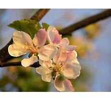 Wild Apple Blossom Photographic Print