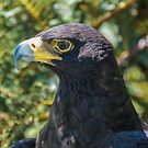Verreaux's Eagle - Aquila verreauxii (Black Eagle) by Deborah V Townsend