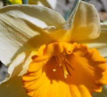 yellow and white  daffodil flowers. floral photography. Sticker