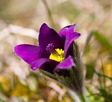 Pasqueflower (Pulsitilla vulgaris) by Steve Chilton