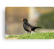 Posing Blackbird Canvas Print