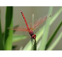 Beautiful Red Skimmer or Firecracker Dragonfly Photographic Print