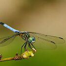 dragonfly by kellimays