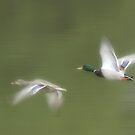 ducks in flight by gregsmith
