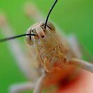 Grasshopper Eyes by Kate Wall