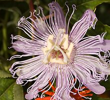Passion Flower by Donna Adamski
