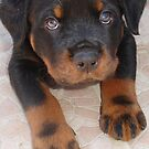 Rottweiler - Brown Eyed Boy by taiche