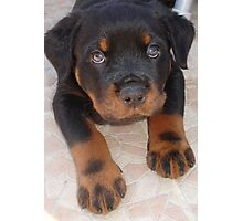 Rottweiler - Brown Eyed Boy Photographic Print