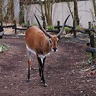 Gazelle taking the visitors way by 29Breizh33