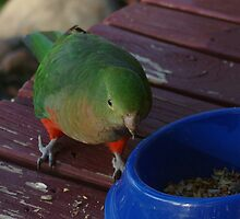King Parrot Eating Seeds by Serena Griffin