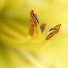 Yellow Lily II by Luke and Katie Thurlby