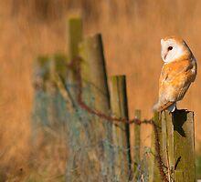 Barn Owl by samandoliver