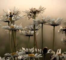 Daisies In The Fog by Atlantic Dreams