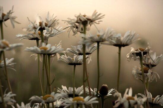 Daisies In The Fog by Atlantic Dreams