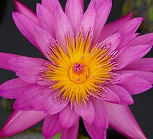 Water lily by Glenn Vaughan