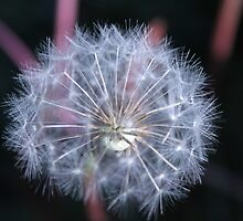 white spring dandelion seeds head. floral photography. by naturematters