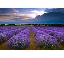 Lavender Field in Heacham, England Photographic Print