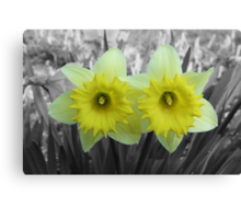 Yellow Daffodils on Black and White Canvas Print