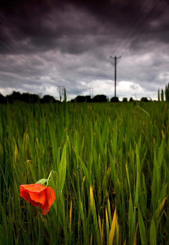 lone poppy by igotmeacanon