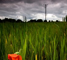 lone poppy by igotmeacanon