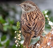 Dunnock ( Hedge Sparrow ) by Stormbringer