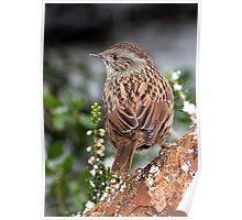 Dunnock ( Hedge Sparrow ) Poster